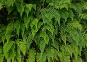 Main thumb fern