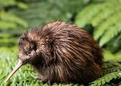 Main thumb fern kiwi