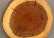 Main thumb taxus wood