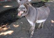 Main thumb donkey2