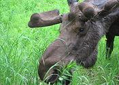 Main thumb 220px bull moose close up feeding on fireweed